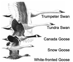 Trumpeter Swan ID