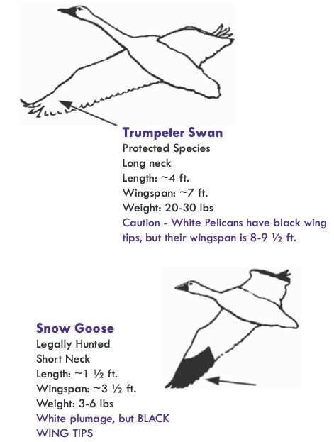 Trumpet Swan and Snow Goose