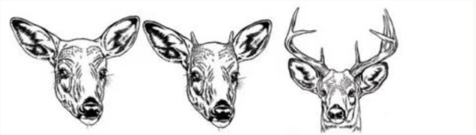 Legal Deer