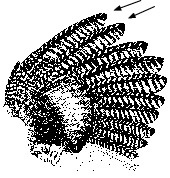 Adult Turkey Wing Feathers