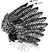 Juvenile Turkey Wing Feathers